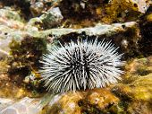 pic of curacao  - A sea Urchin underwater - JPG