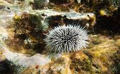 stock photo of curacao  - A sea Urchin underwater - JPG