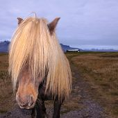 stock photo of iceland farm  - Icelandic Horse with impressing mane in Iceland - JPG