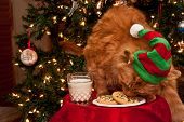 foto of hairy tongue  - Cat dressed as an elf eating cookies left out for Santa - JPG