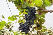 foto of garden eden  - Grapes in the vineyard the garden of Eden Chiang Mai Thailand.