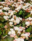 picture of begonias  - Begonia flowers in garden  - JPG