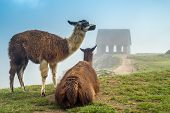 picture of lamas  - Lama at Machu Picchu in Peru  - JPG