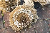 image of grub  - Inside of a wasps nest showing wasps and grubs - JPG