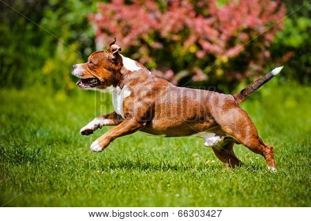 english staffordshire bull terrier dog