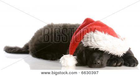 Newfoundland Pup Wearing Santa Hat