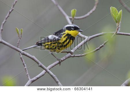 Male Magnolia Warbler