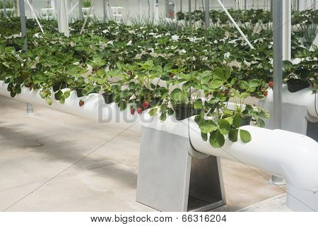 Hydroponic Grown Strawberries