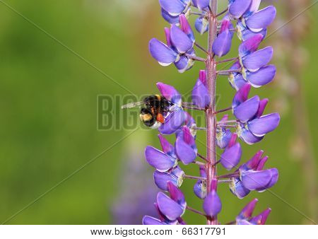 Bumble Bee In Blue Lupine Collecting Nectar