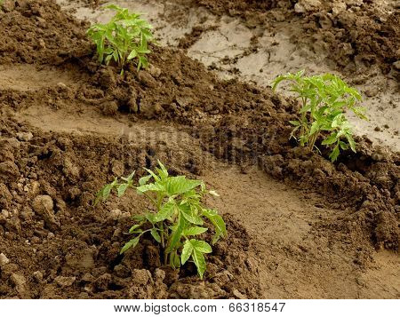 tomato seedlings growing on a vegetable bed