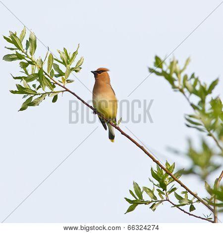 Cedar Waxwing On Branch