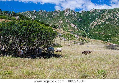 Goats in  Sardinia Island, Italy