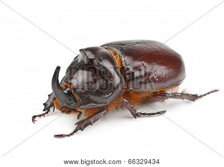 Rhinoceros Beetle Isolated On White Background