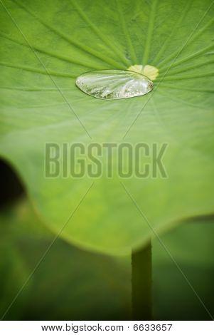 Lotus leaf with water drop