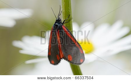 Red And Black Cinnabar Moth
