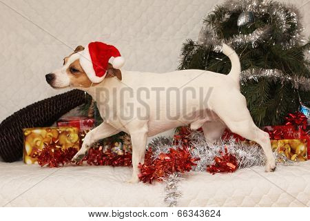 Adorable Jack Russell Terrier With Santa Hat In A Christmas