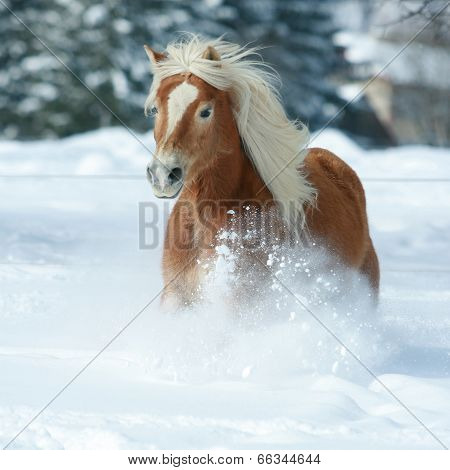 Nice Haflinger With Long Mane Running In The Snow