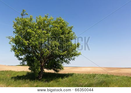 Single Tree On Empty Field