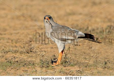 Pale Chanting goshawk (Melierax canorus) with lizard catch, South Africa