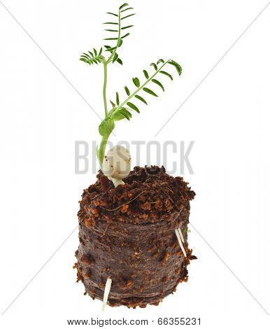 pea seedling in peat pill pot isolated on white background
