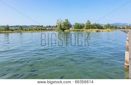 Fishes In Lake Zurich