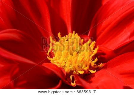 Red Dahlia Flower With Yellow Centre