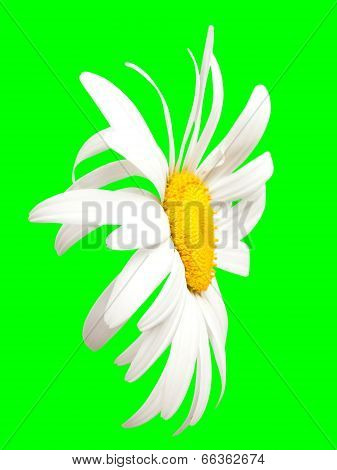 White Chamomile On Green. Close-up View