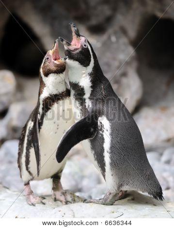 Penguin duet