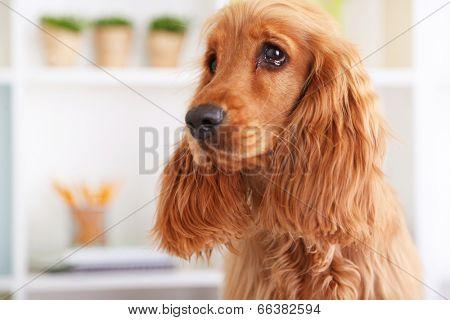 Beautiful cocker spaniel on bright background