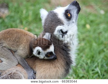 Closeup Of Ring-tailed Lemur Catta With Baby