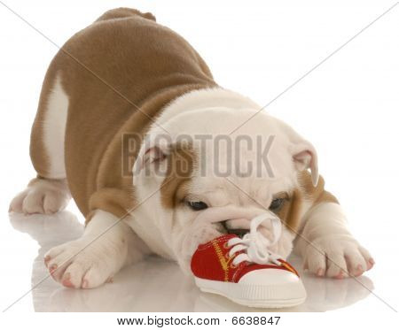 Bulldog Puppy Chewing On Shoe