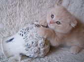 picture of scottish-fold  - scottish fold kitten creme kleur poes decoratie