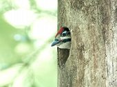 image of woodpecker  - Great Spotted Woodpecker baby looking out of its nest - JPG