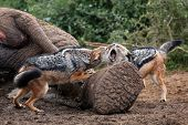 stock photo of jackal  - Two black backed jackals fighting over the carcass of a dead elephant