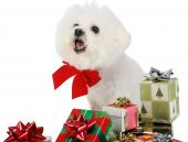Christmas with Fifi the Bichon Frise poster