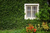pic of ivy  - Windows and walls are covered with ivy look elegant and classic look - JPG
