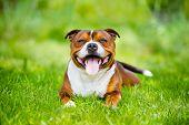 foto of staffordshire-terrier  - staffordshire bull terrier dog outdoors in summer - JPG