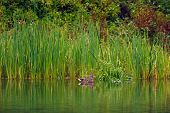 image of cattail  - Duck relaxing by the cattail reeds near the edge of a pond - JPG
