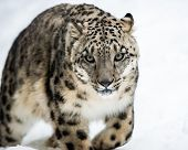 picture of snow-leopard  - Frontal Portrait of a Snow Leopard in Snow