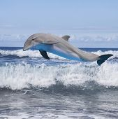 image of bottlenose dolphin  - jumping dolphin - JPG