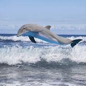 image of bottlenose dolphin  - jumping dolphin - JPG