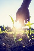 stock photo of maize  - Retro image of male hand reaching down to a young maize plant growing in an agricultural field backlit by a bright early morning burst of sunlight with sun flare around the plant and hand.