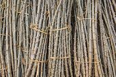 picture of cassava  - The sapling of cassava for Cultivate or sell - JPG