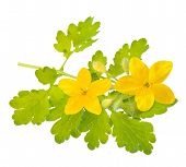 stock photo of greater  - greater celandine isolated on a white background - JPG