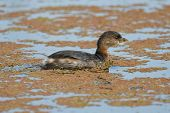 picture of grebe  - A single Pied - JPG