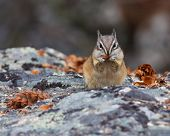 stock photo of chipmunks  - Chipmunk resting on a rock eating with watchful eyes - JPG