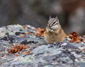 picture of chipmunks  - Chipmunk on resting on a rock with a stuffed cheek