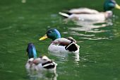 pic of male mallard  - two males mallard ducks  - JPG