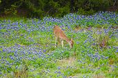 stock photo of bluebonnets  - Just a picture of a white tail deer standing in some bluebonnets - JPG