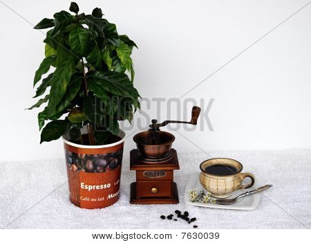 Development of coffee